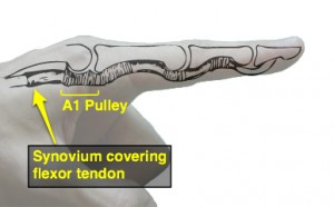 synovium covering flexor tendon - schematic and photo